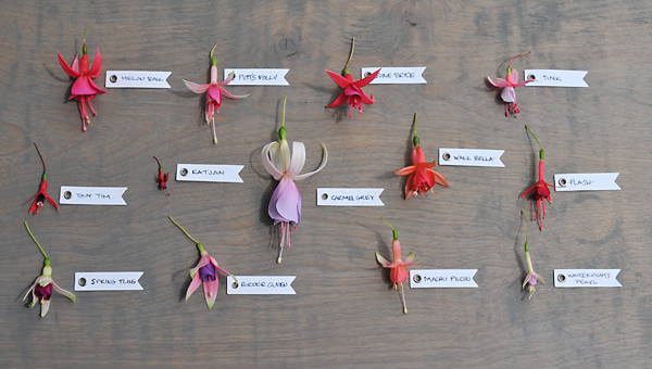Growing With Plants Displaying A Collection Of Various Fuchsias