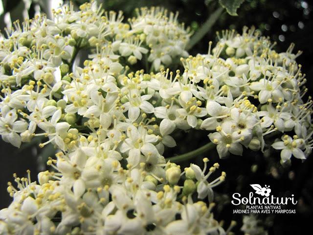 Sambucus australis Sauco flores