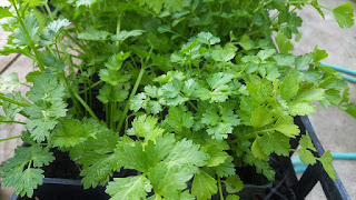 Use green coriander to control blood sugar and cholesterol.