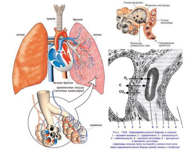 Жизнь, Здоровье, Долголетие - функции жиров в организме
