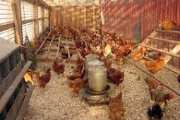 Kaya Dari Ayam Petelur. Anggota Dewan Ini Memiliki Peternakan Yang Mampu Menghasilkan 3.600 Butir Telur Per Hari