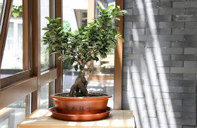 bonsai-albero in miniatura-luce