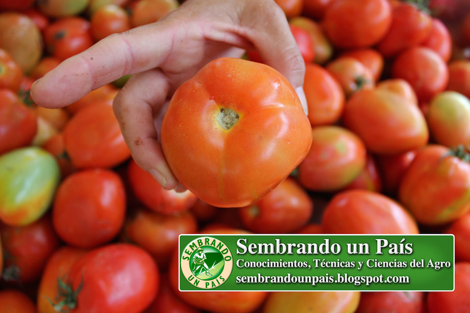tomate de buena calidad en mercado