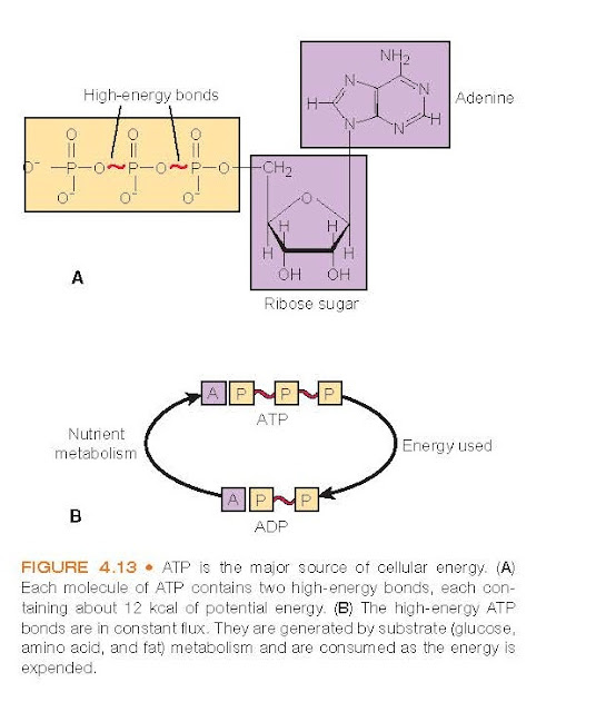 ATP is the major source of cellular energy. (A) Each molecule of ATP contains two high-energy bonds, each containing about 12 kcal of potential energy. (B) The high-energy ATP bonds are in constant flux. They are generated by substrate (glucose, amino acid, and fat) metabolism and are consumed as the energy is expended.