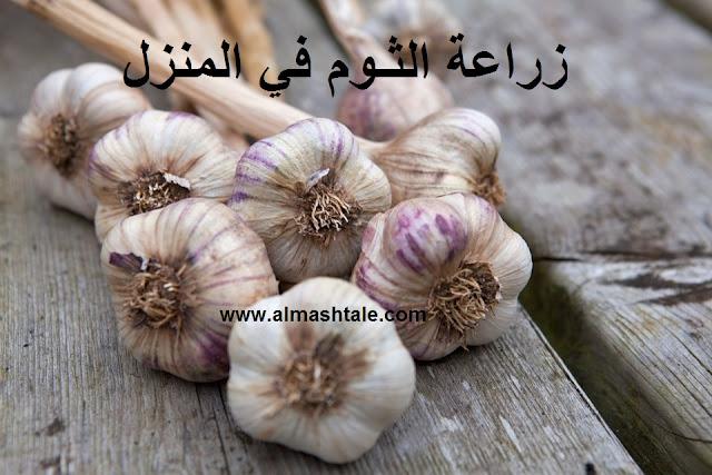 زراعة الثوم garlic
