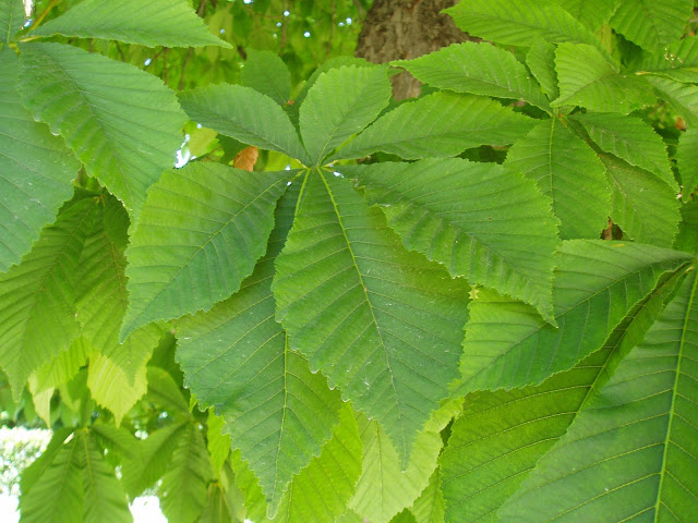 CASTAÑO DE INDIAS: Aesculus hippocastanum