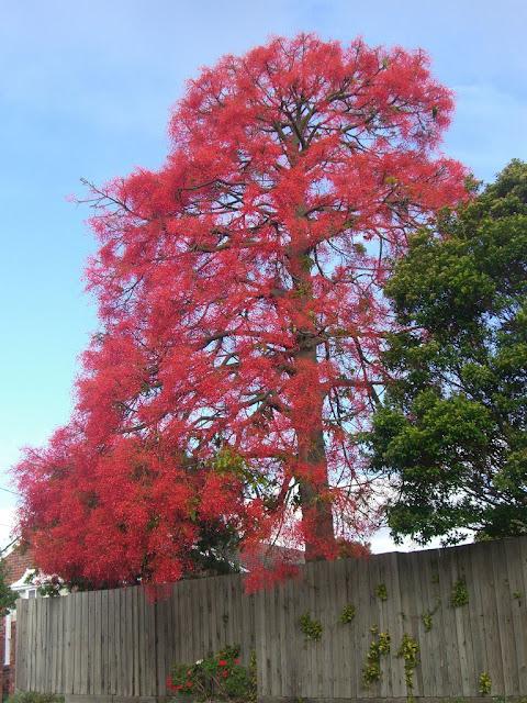 El árbol rojo (Brachychiton acerifolius)