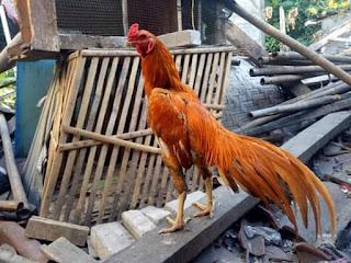 Ekor berparan penting saat ayam aduan berlaga