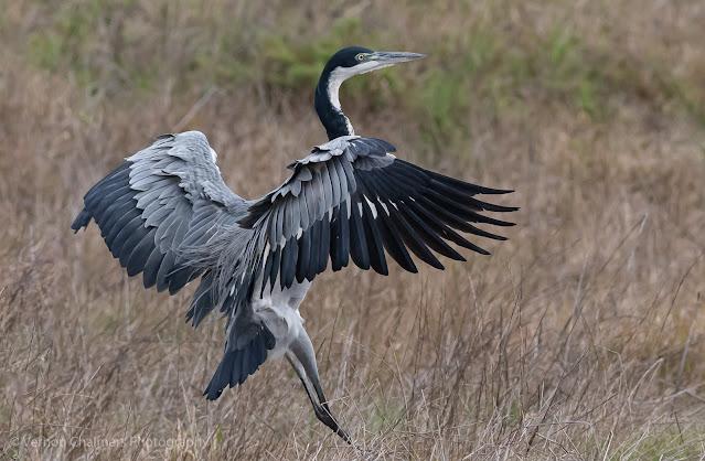 Black-Headed Heron Table Bay Nature Reserve - Woodbridge Island - Canon EOS 7D Mark II