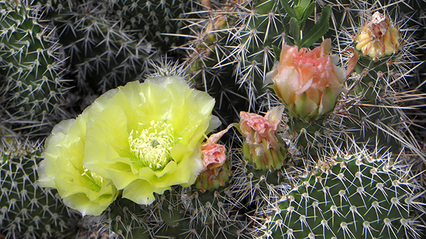 Yellow Prickly Pear Blossom with Pink Buds