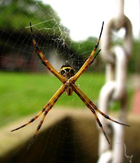 Golden Orb-Spider