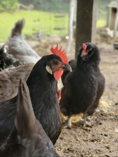Can Chickens Recognize Each Other?