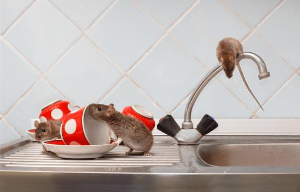 Dedetização de Ratos