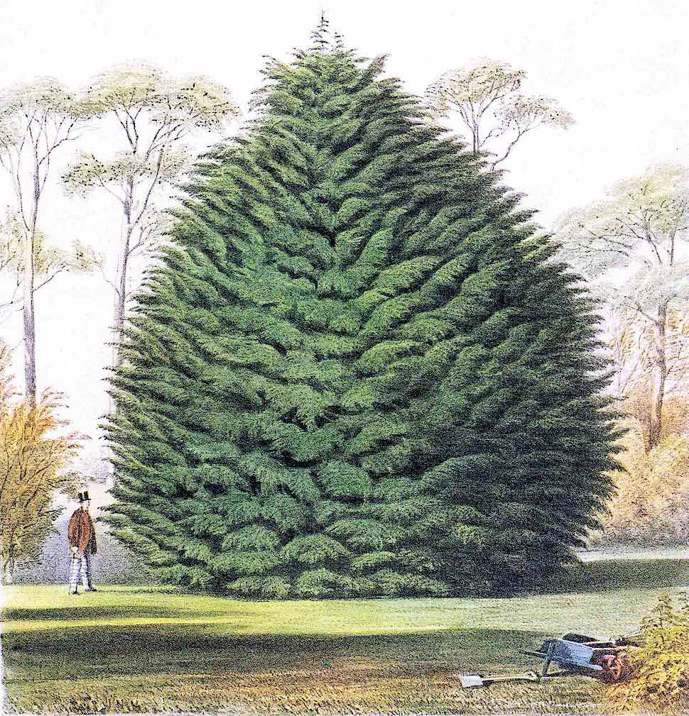 a giant 1884 garden tree, color illustration