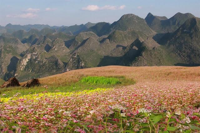 Top destinations to enjoy buckwheat blooming in Vietnam 1