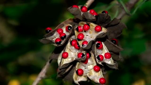 Most Poisonous Plants, Rosary Pea