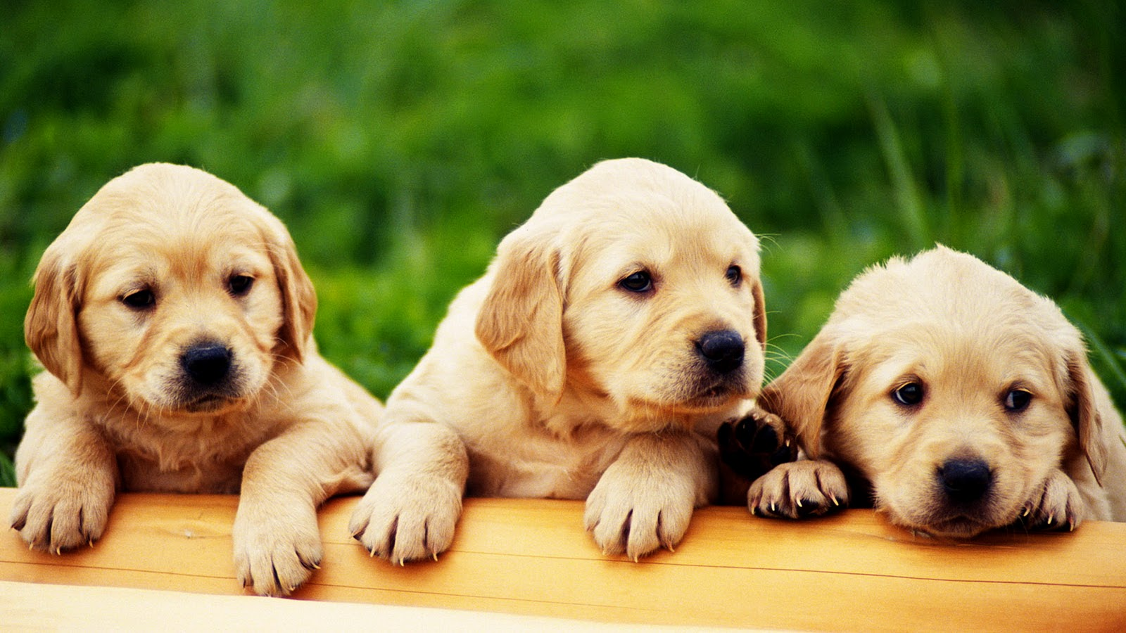 Central Wallpaper: Cute Puppies HD Wallpapers Collection