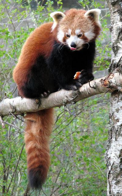 Panda merah (ailurus fulgens)