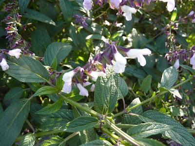 Salvia (Salvia divinorum)