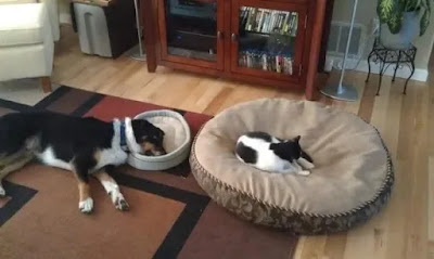 Ten pictures of Shameless Cats Stealing Beds From Dogs