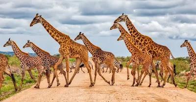 Zürafa nedir ? Zürafa hakkında bilgiler ? Zürafa Özellikleri Nelerdir ? Dünyanın en uzun memeli hayvanı hangisidir ? Zürafalar Ne Yer? Zürafalar Nasıl Su İçer ? Zürafalar Nasıl Uyur ?