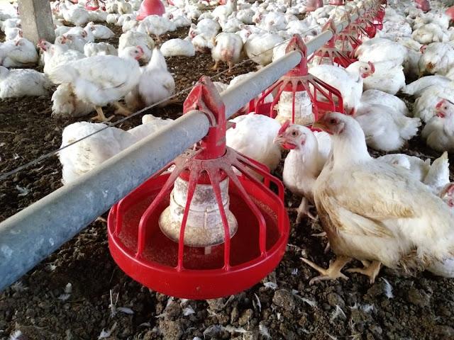 China reporta surto de gripe aviária e abate quase 18 mil animais