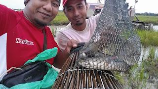 3 cara menangkap ikan di bendang