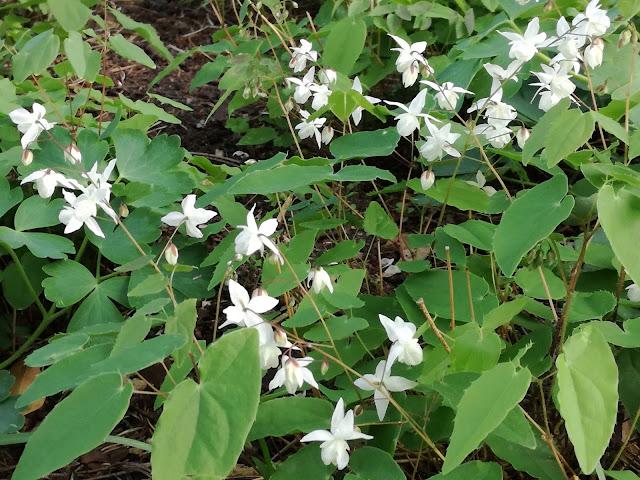 białe kwiaty epimedium