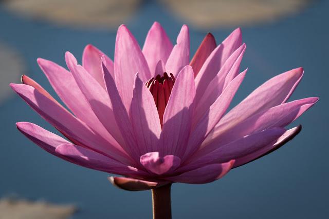 شاهد سحر بحيرة اللوتس الأحمر في تايلند I-visited-the-red-lotus-sea-in-Thailand-57b3162b565bb__880