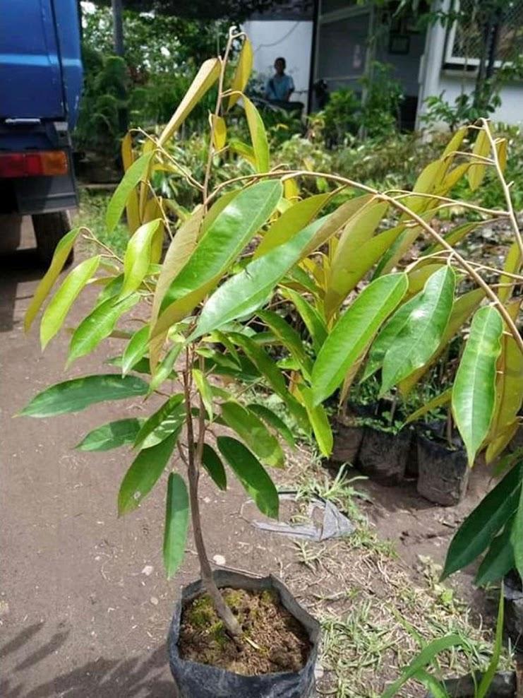 Bibit Buah Durian bawor cepat berbuah bibit durian bawor genjah bisa berbuah dalam pot Padang