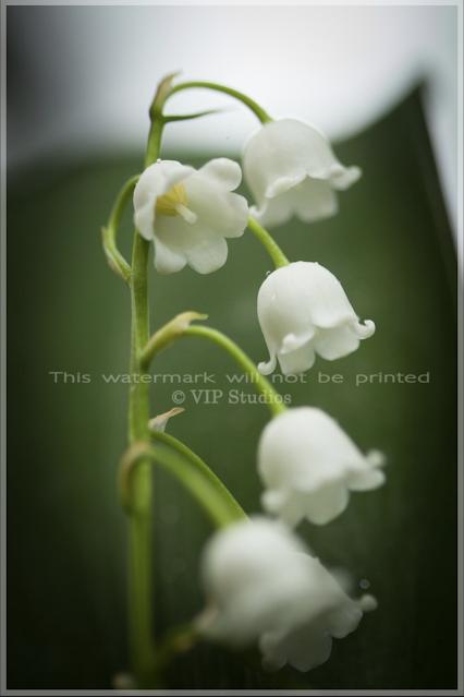Lily 5965 Photo Print