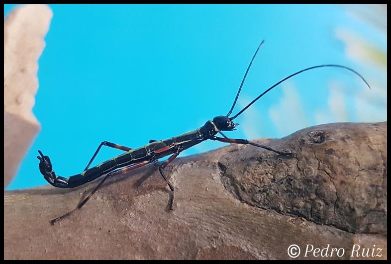 "Ninfa macho L4 de Orthomeria kangi ""Benguet"", 2,8 cm de longitud"