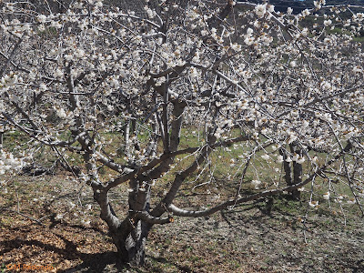 blossoming cherrytrees and landscaep bubion march 2020
