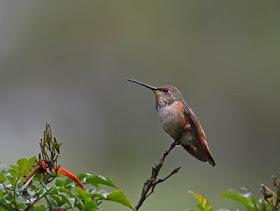 egyetlen takarmány kolibri adagoló