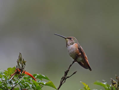 Photo of female Allen's Hummingbird in a bush
