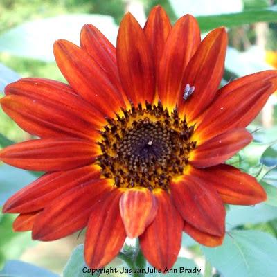 a fly on a autumn beauty sunflower blossom
