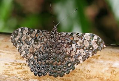Argentinian butterflys