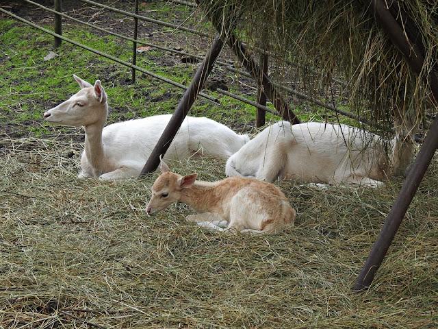 zwierzęta  kopytne w zoo w Nowym Tomyślu