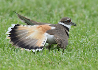 Killdeer faking an injury, by Andy Reago and Chrissy McClarren