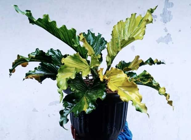 Anthurium variegata (Gelombang Cinta variegata) (courtesy Instagram @moh.diska)