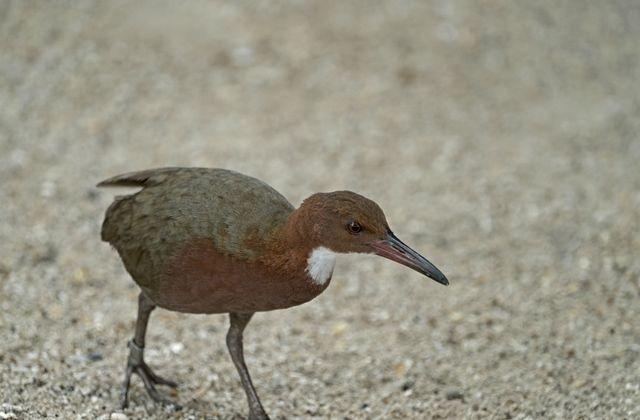 L'uccello di Aldabra appare dopo 100 anni, considerato estinto
