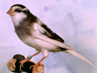 Burung Kenari American Singer - Mengenal Burung Kenari American Singer -  Burung Kenari Paling Terbaik Baik Faktor Suara dan Posturnya