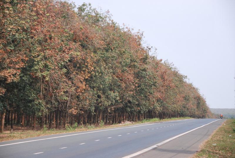 Rừng cao su Long Thành mùa lá rụng