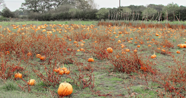 Eerie pumpkin field