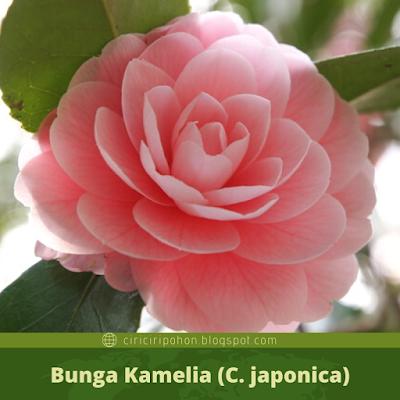 Ciri Ciri Bunga Kamelia (C. japonica)