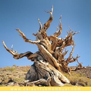 Pinus Bristlecone