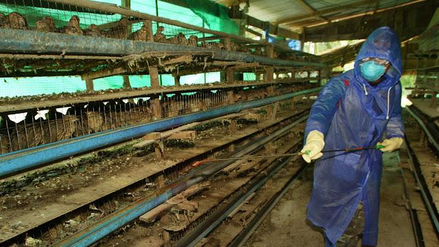 Filipinas detecta un brote de gripe aviar en medio de la pandemia de coronavirus