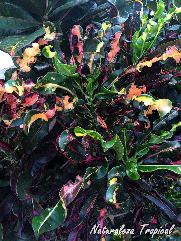 Variedad de Croton con hojas espirales, género Codiaeum