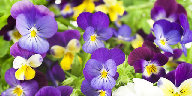 How to grow the perfect pansies in a private garden