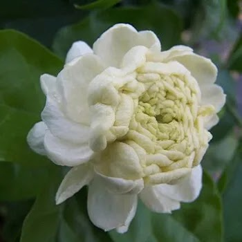 मोगरा, Arabian Jasmine Flowers Name In Marathi